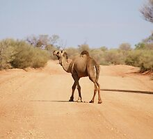 Camel near Chambers Pillar Northern Territory by Steve Bass