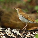 Veery by Bill McMullen