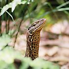 Goanna-Arnhem Land Northern Territory by Steve Bass