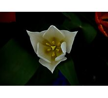 White Tulip from Top Photographic Print