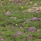 Alpine Rock Garden by Tamas Bakos