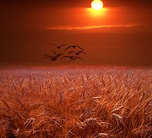 Gulls over a Wheat Field at Sunset by Randall Nyhof