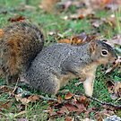 Pointing Squirrel by Randall Ingalls