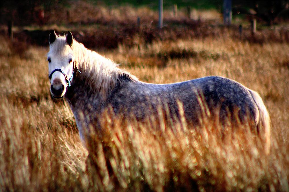 Camouflage Connemara Pony by ConnemaraPony
