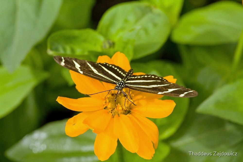 Zebra longwing butterfly by Thad Zajdowicz