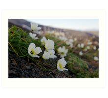 Svalbard Poppy Art Print