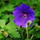 Purple burst. by Ravinder Surah