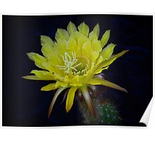 Yellow Night Blooming Cactus  Poster