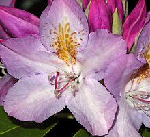 Rhodie Blossoms by Lynda Lehmann