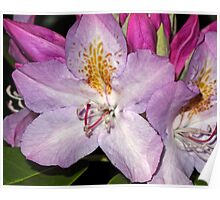 Rhodie Blossoms Poster
