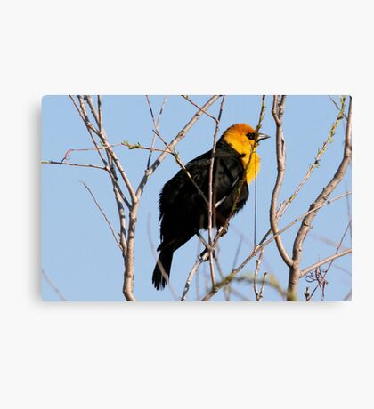 Yellow Headed Blackbird (With Video) Canvas Print