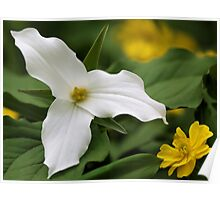 White Trillium and Yellow Anemone Poster