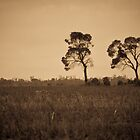 Emu Apple Trees - Vicenza, QLD by Sally Werner