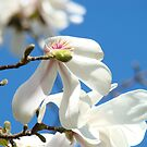 Magnolia Tree Flowers art prints Floral Baslee Troutman by BasleeArtPrints