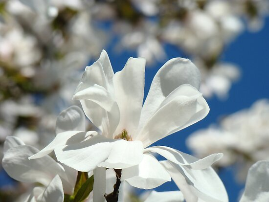 Flowering Magnolia Flowers art prints Baslee Troutman by BasleeArtPrints