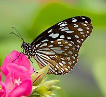 Blue Tiger Butterfly by Margan  Zajdowicz