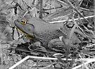 Bullfrog by Veronica Schultz