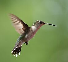 Hovering Hummer... by Gregg Williams