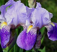 Iris Duo by Lynda Lehmann