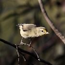 Close Inspection ... Striated Pardalote by Kerryn Ryan, Mosaic Avenues