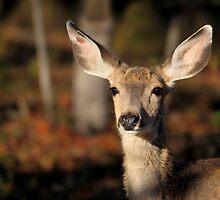 Mule Deer by Rob Lavoie