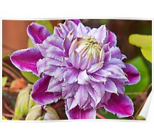 Clematis - Josephine Poster