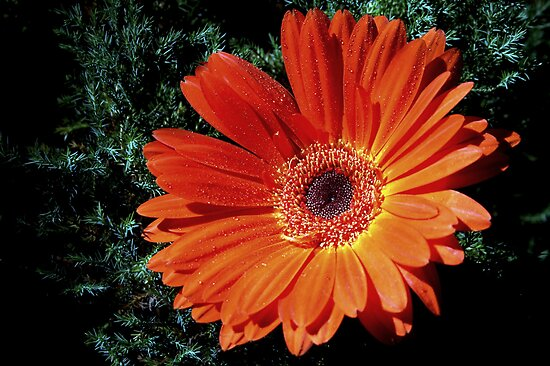~Orange Gerbra~ by a~m .