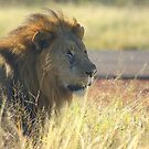 A young male lion peers down the runway by MarkySA
