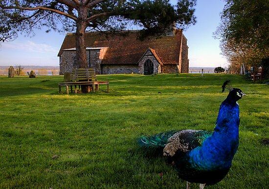 Harty Peacock by FunkySlug