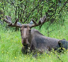 Moose - Male by Mark Clement