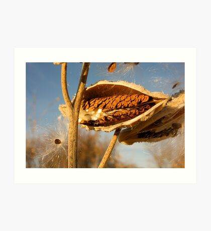 Milkweed Pod and Seeds Art Print