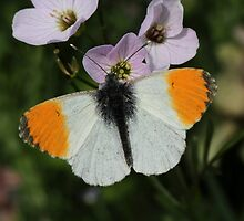 Male Orangetip by Neil Ludford