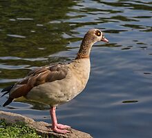 Egyptian Goose in St James Park, London, UK by Gerda Grice