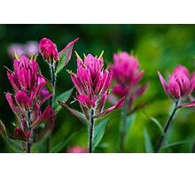 Red Indian Paintbrush Photographic Print