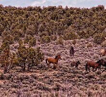 Small herd of wild mustangs, Triple B Complex  by Ellen  Holcomb