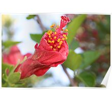 Curled Petals of A Red Hibiscus Bud Poster