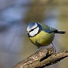 blue tit perched on a branch in the afternoon sun. by chilblains