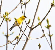 American Goldfinch bird by c painter