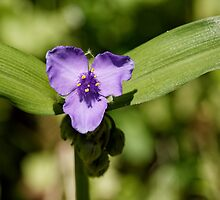 Spiderwort by Tim Devine