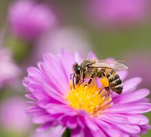 Honeybee on a pink flower by Annora Ayer