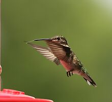 Hungry hummer by Gregg Williams