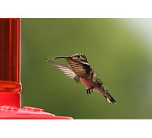 Hungry hummer Photographic Print