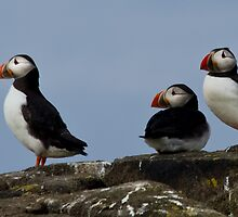 3 puffins at the look out on Isle of May, Scotland by Birgit Van den Broeck