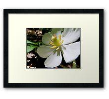 Mayapple Flower Framed Print