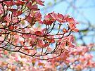 Dogwood Tree Flowering Pink Dogwood Flowers Baslee by BasleeArtPrints