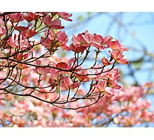 Dogwood Tree Flowering Pink Dogwood Flowers Baslee Photographic Print