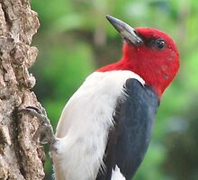 Mister Red Headed Woodpecker by lorilee