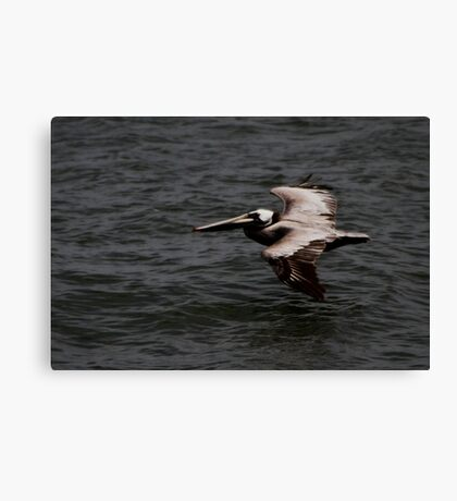 San Francisco Pelican Canvas Print