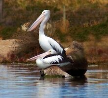 On Watch - Pelicans on the Murray Bridge Wetlands by Mark Richards