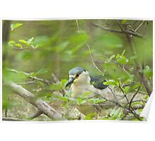 Black-crowned Night-Heron (Nycticorax nycticorax) Poster